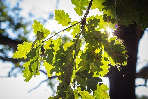 Acorn Leaves, Leaves, Foliage, Green Leaves
