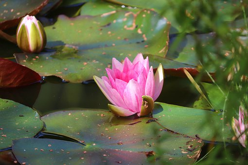 Water Lily, Lotus, Pink Flower, Pond, Nymphaea