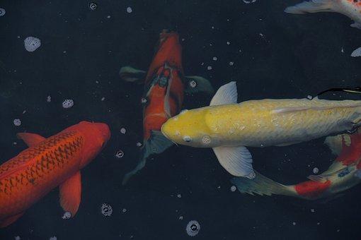 Fishes, Koi, Pond, Aquatic, Marine