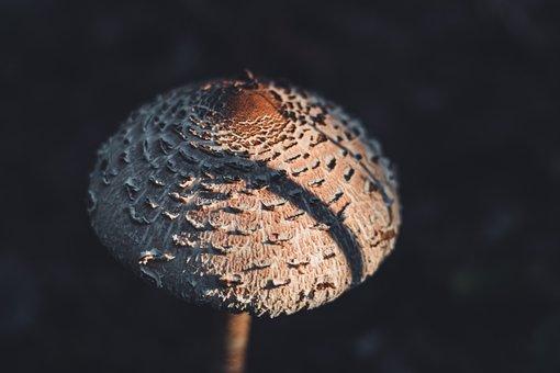Parasol Mushroom, Mushroom, Forest Floor