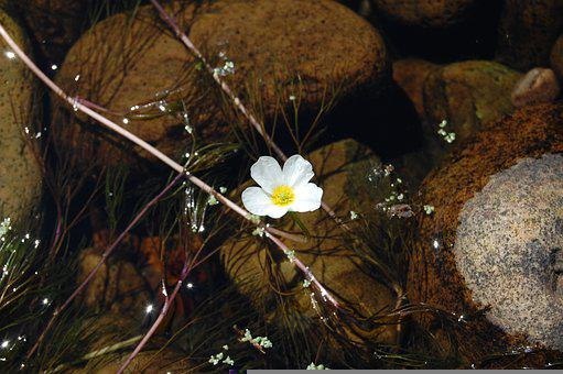 Pond, White Flower, Nature, River, Tranquil