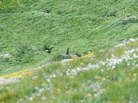 Marmot, Alpine Marmot, Marmota Marmota, Rodents