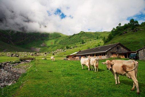 Cows, Switzerland, Canton Of Glarus, Glarus, Alp