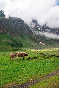 Cows, Alp, Switzerland, Canton Of Glarus, Glarus