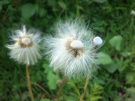 Blowball, Flower, Dandelion, Fluffy, Plants, Floral