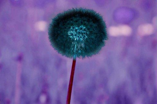 Dandelion, Nature, Freedom, Growth, Seed, Leaf, Summer