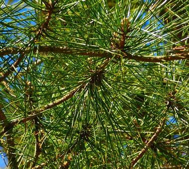 Gymnosperm Plant, Needles, Branches, Branch, Conifers