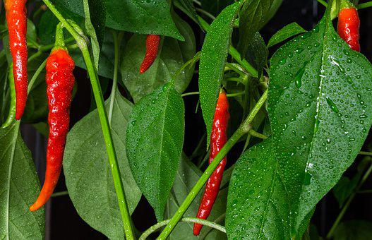 Chili, Peper, Plant, Red, Hot, Nature, Wet, Rising