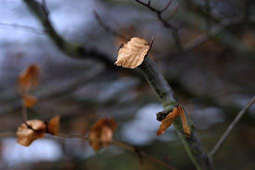 Maintained, Sheet Clings To The Tree, Winter, Leaves
