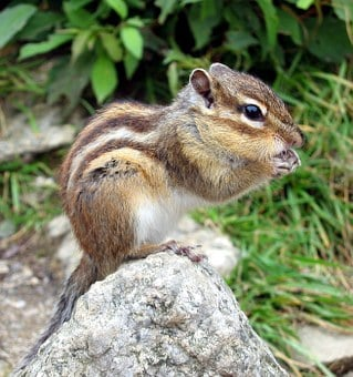 Chipmunk, Squirrel, Nager, Rodent, Cute, Tamias