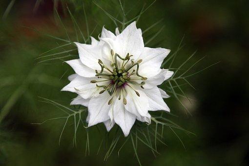 Fennel Flower, White, Respect, Green, Nature, Organic