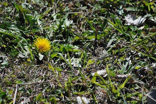Dandelion, Yellow, Spring, Nature, Flower, Summer
