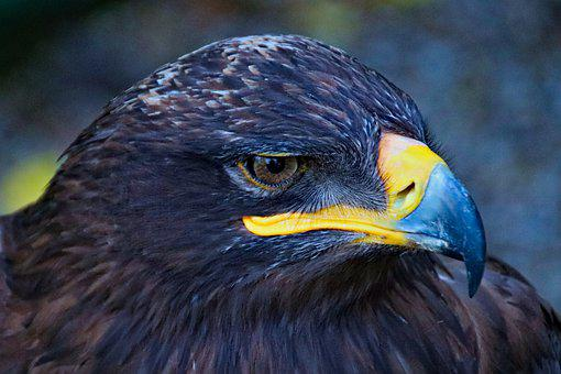 Eagle, Bird, Animal, Bird Of Prey, Predator, Feathers