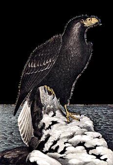Northern Sea Eagle, Bird, Raptor, Bird Of Prey, Sea