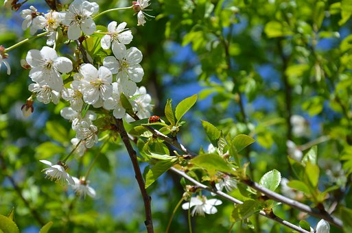Cherry Blossom, Flowers, Ladybug, Insect, Spring