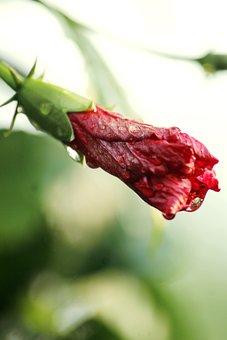 Red Flower, Flower Bud, Blossom, Nature, Landscape