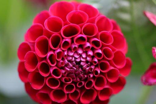 Dahlia, Flower, Red Dahlia, Red Petals, Petals, Bloom