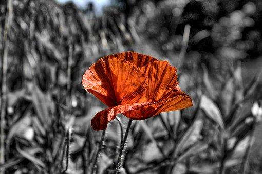 Poppy, Flower, Red Poppy, Red Flower, Cereal