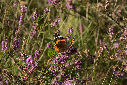 Red Admiral Butterfly, Butterfly, Flowers, Heather