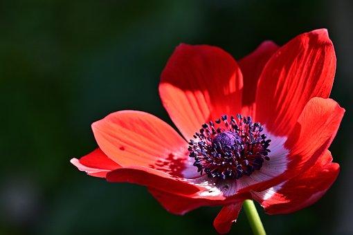 Poppy Anemone, Anemone, Flower, Red Anemone, Red Flower