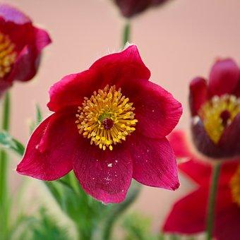 Flower, Red Flower, Garden, Petals, Bloom, Blossom
