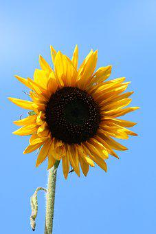 Flower, Sunflower, Bloom, Blossom, Flora, Nature