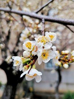 Sakura, Flowers, Cherry Blossoms, White Petals, Petals