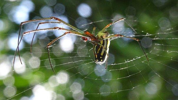 Spider, Cuban Spider, Insect, Web, Arachnid