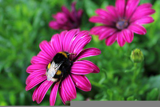 Flower, Bees, Bug, Nectar, Pollinate, Spanish Margriet