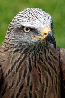 Bird, Hawk, Ornithology, Species, Animal, Avian, Raptor