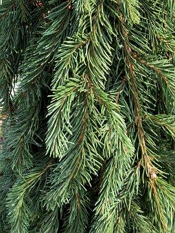 Tree, Evergreen, Pine, Nature, Christmas, Greenery
