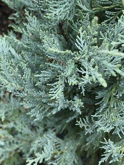 Evergreen Tree, Conifer Tree, Pine Tree, Nature