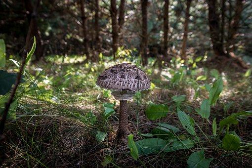 Mushroom, Fungus, Fungi, Forest, Trees, Nature, Summer