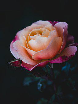 Rose, Flower, Petals, Leaves, Foliage, Plants, Nature