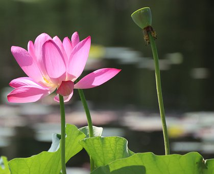 Flower, Lotus, Petals, Plant, Pink Flower, Water Lily