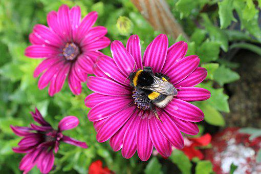 Flowers, Bugs, Bees, Pollinate, Spanish Margriet