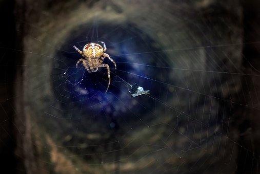 Spider, European Garden Spider, Diadem Spider
