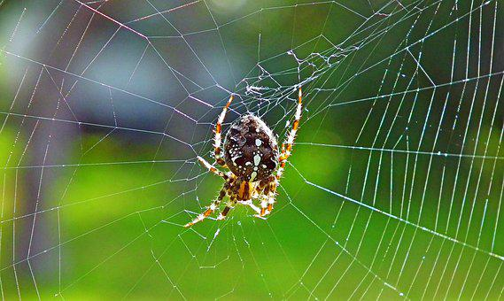 Arthropod, Spider, Spider Web, Cobweb, Arachnid, Macro