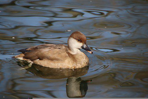 Duck, Mallard, Bird, Waterfowl, Juvenile, Feathers