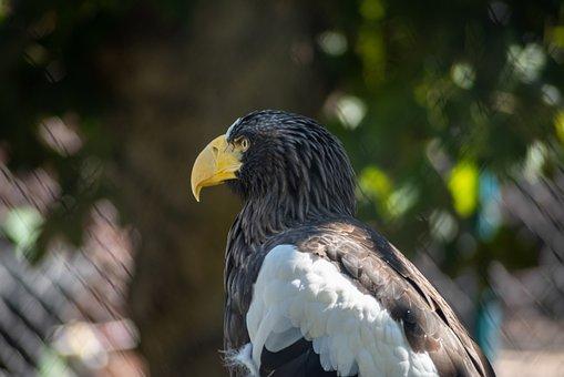 Eagle, Bird, Animal, Steller's Sea Eagle, Bird Of Prey