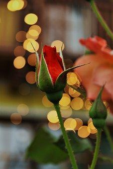 Rose, Bokeh, Garden, Flower, Botany, Valentine's Day