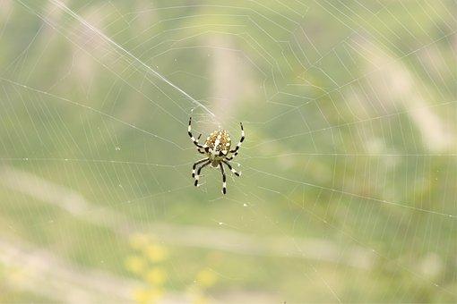 Spider, Spider Web, Arachnid, Cobweb, Species