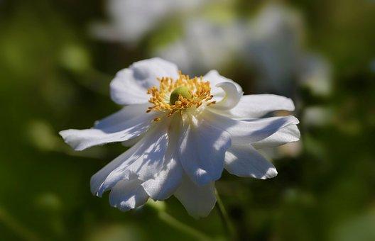 Autumn Anemone, Japanese Anemone, Anemone, White Flower