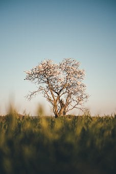 Tree, Cherry, Field, Horizon, Nature, Spring, Landscape