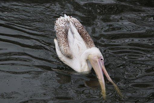 Bird, Pelican, Ornithology, Species, Animal, Water Bird