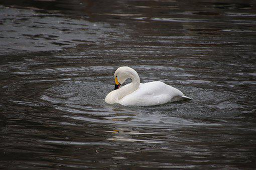 Swan, Waterfowl, Lake, Pond, Bird, Water Bird, Animal