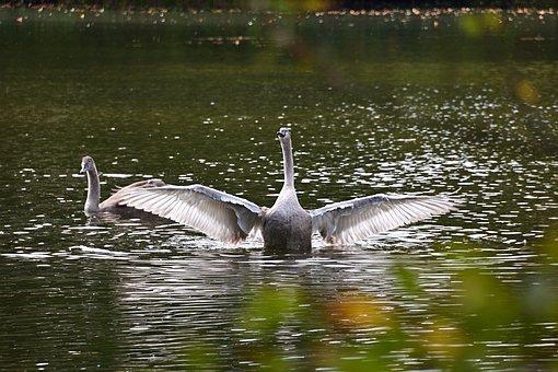 Swan, Bird, Lake, Flapping, Young Swan, Waterfowl