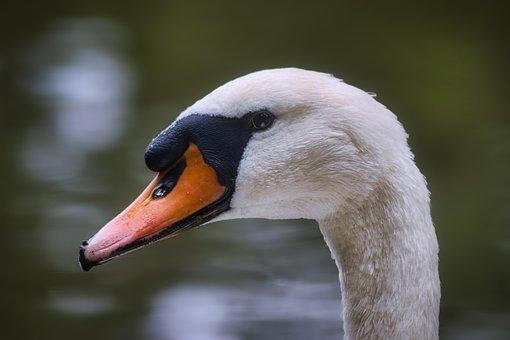 Swan, Bird, Animal, Waterfowl, Wings, Water Bird, Head