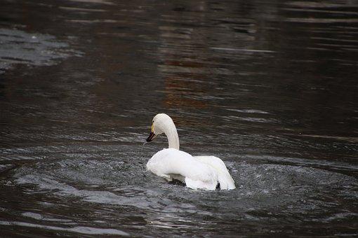 Bird, Swan, Ornithology, Species, Animal, Avian