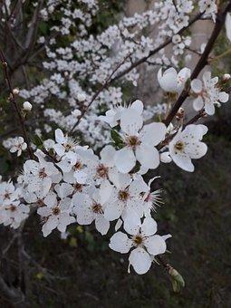 Sakura, Flowers, Cherry Blossoms, White Flowers